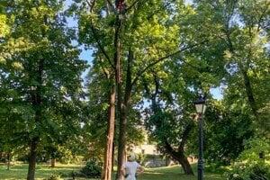 Arboristi pri prácach využívali techniku zlanovania.