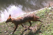 Šakal zachytený na hrádzi v NPR Senianske rybníky.