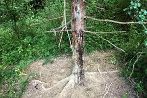 Zabahnený diviak sa čistí cez oderový strom