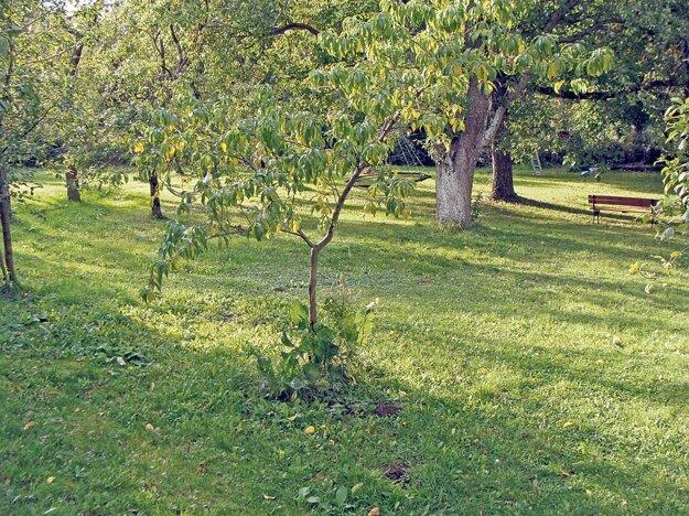 V záhrade prospieva mnohým ovocinám i zelenine: jabloniam, uhorkám aj zemiakom. Sadí sa napríklad k broskyniam ako prevencia proti kučeravosti.