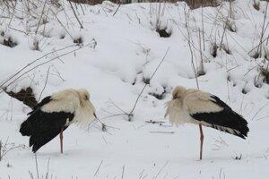 Niektoré bociany zostali zimovať na Slovensku.