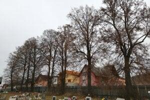 Lipy malolisté na hrabušickom cintoríne. Zachraňuje ich arborista.