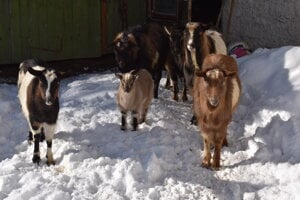 Kozy a capko zrejme poslúžili ako návnada.