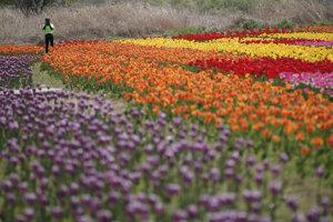 Rozkvitnuté tulipány v parku v juhokórejskom Goyang.