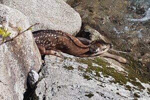 Dobrovoľníci našli pri čistení južnej strany Chopku zranenú srnku. Odviezli ju do horárne.