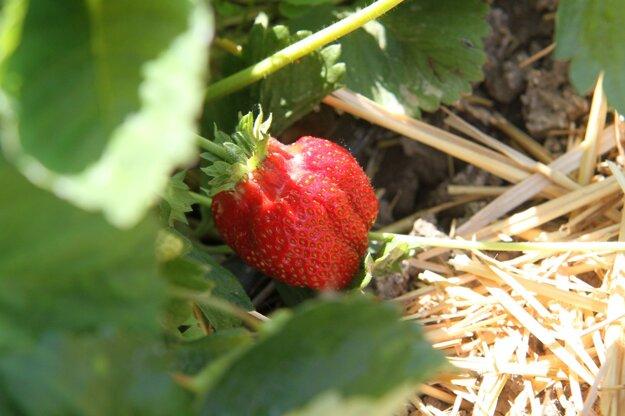 O jahody je na kolíňanskej plantáži výborne postarané.