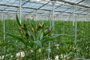 Farma Oremus pestuje aj astromérie.