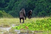 Dvaja samci šimpanza kontrolujú svoje teritórium v parku Loango, kde vedci pozorovali smrteľné stretnutie tohto druhu s gorilami.