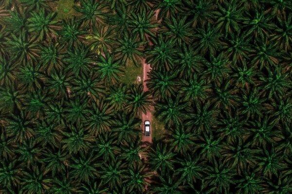 Ilustračné foto palmovej plantáže.