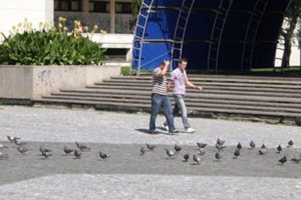 Holuby sa zdržujú najmä na Svätoplukovom námestí. Veľa hniezd majú na neďalekej Mostnej ulici.