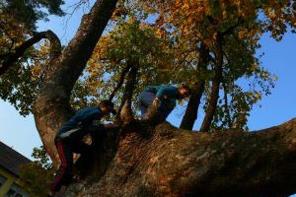 Strom roka 2008 - javor horský z obce Drietoma