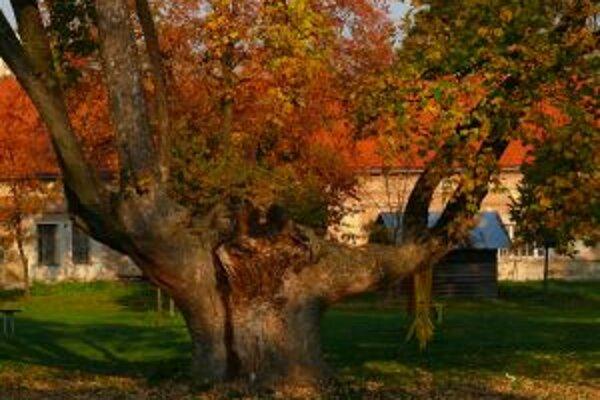 Vlani v ankete o strom roka vyhral javor horský z Drietomy.