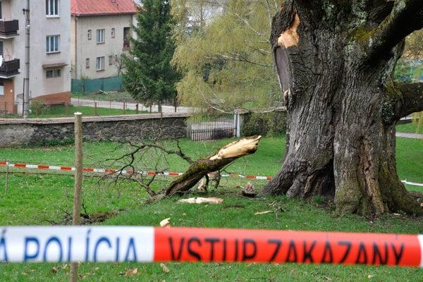 Chránený strom opáskovali.