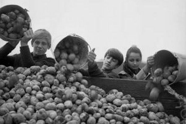 Za čias socializmu bývali zemiakové brigády pre študentov povinné.