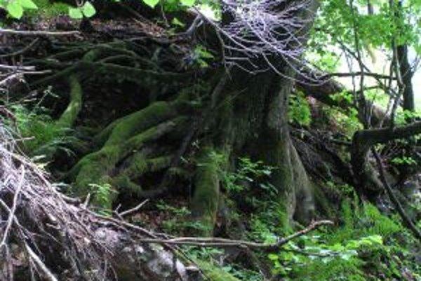 Dreviny v pralese vytvárajú veľmi zvláštne zátišia. Na spráchnivenom dreve vzniká nový život.
