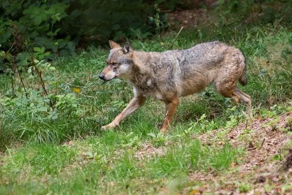 Zo štatistík vidieť, že v posledných dvoch rokoch mali poľovníci problém uloviť povolený počet vlkov.