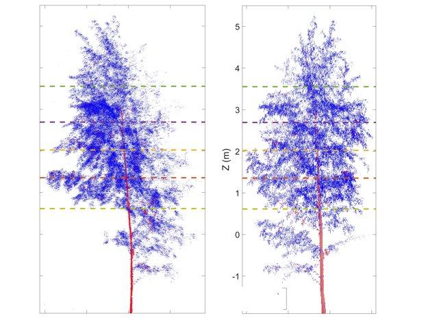 V noci konáre stromov klesnú (vľavo), cez deň sa znova zdvihnú (vpravo).