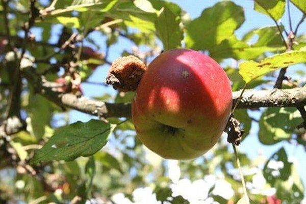 V Badíne budú rozvoniavať jablkové koláče.