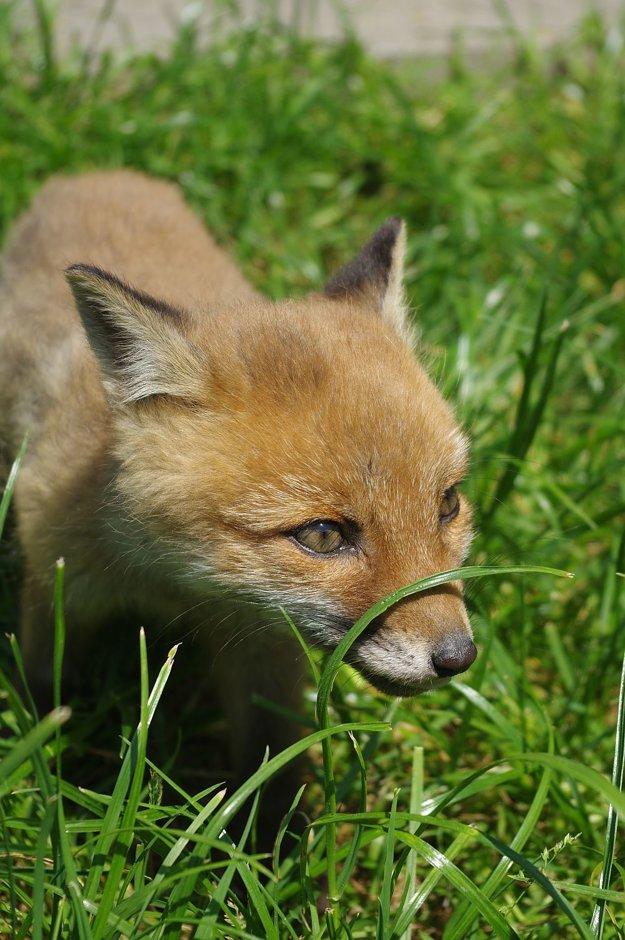 Vonku na tráve Felícia hneď ožila. Malá šelma sa v nej nezaprie. Rýchlo sa však unavila, potom sa natiahla a hneď aj zaspala.