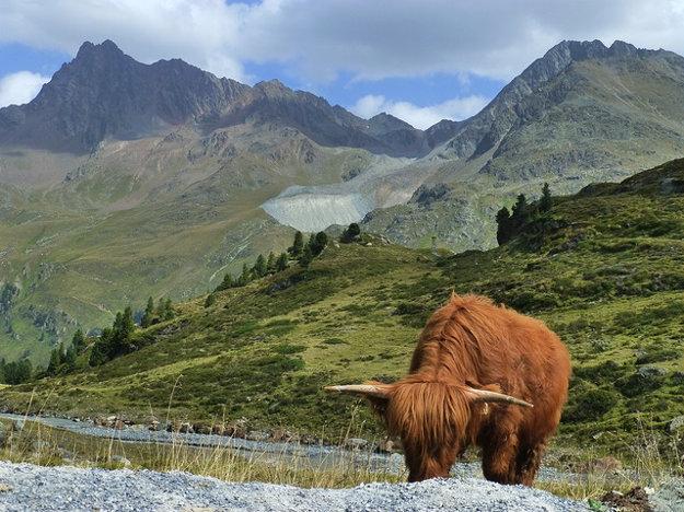 Súčasťou prírodného parku Kaunertal sú aj pasúce sa stáda hovädzieho dobytka.