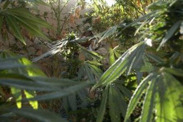 Sušené rastliny rodu Canabis patria do prvej skupiny omamných a psychotropných látok.