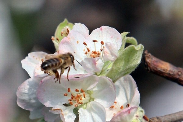 Aj jablká patria medzi plodiny, na ktorých majú včely zásluhy.