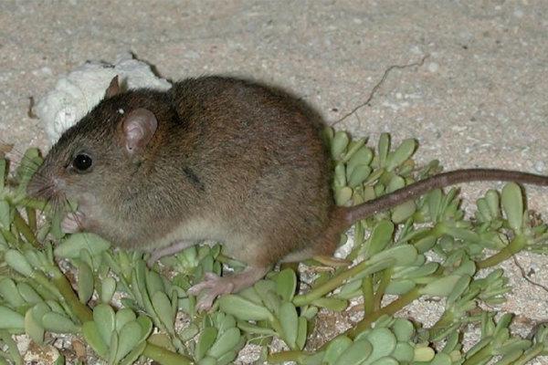 Od roku 2009 nevideli v Bramble Cay ani jedného hlodavca melomys rubicola.