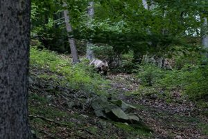Medveď pri Turčianskych Kľačanoch.