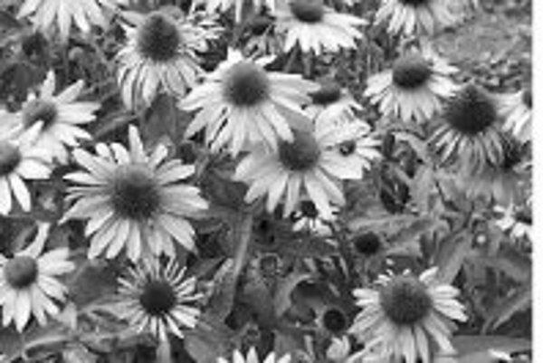 Názov echinacey je odvodený od tvaru kvetného úboru.
