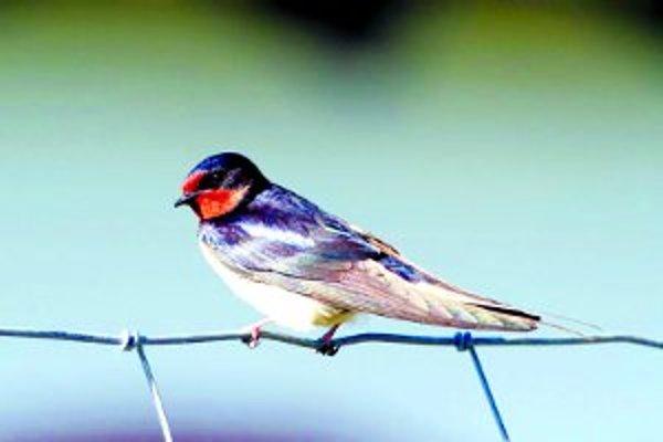 V týchto dňoch môžeme pozorovať návrat desiatok druhov sťahovavých vtákov na svoje hniezdiská.