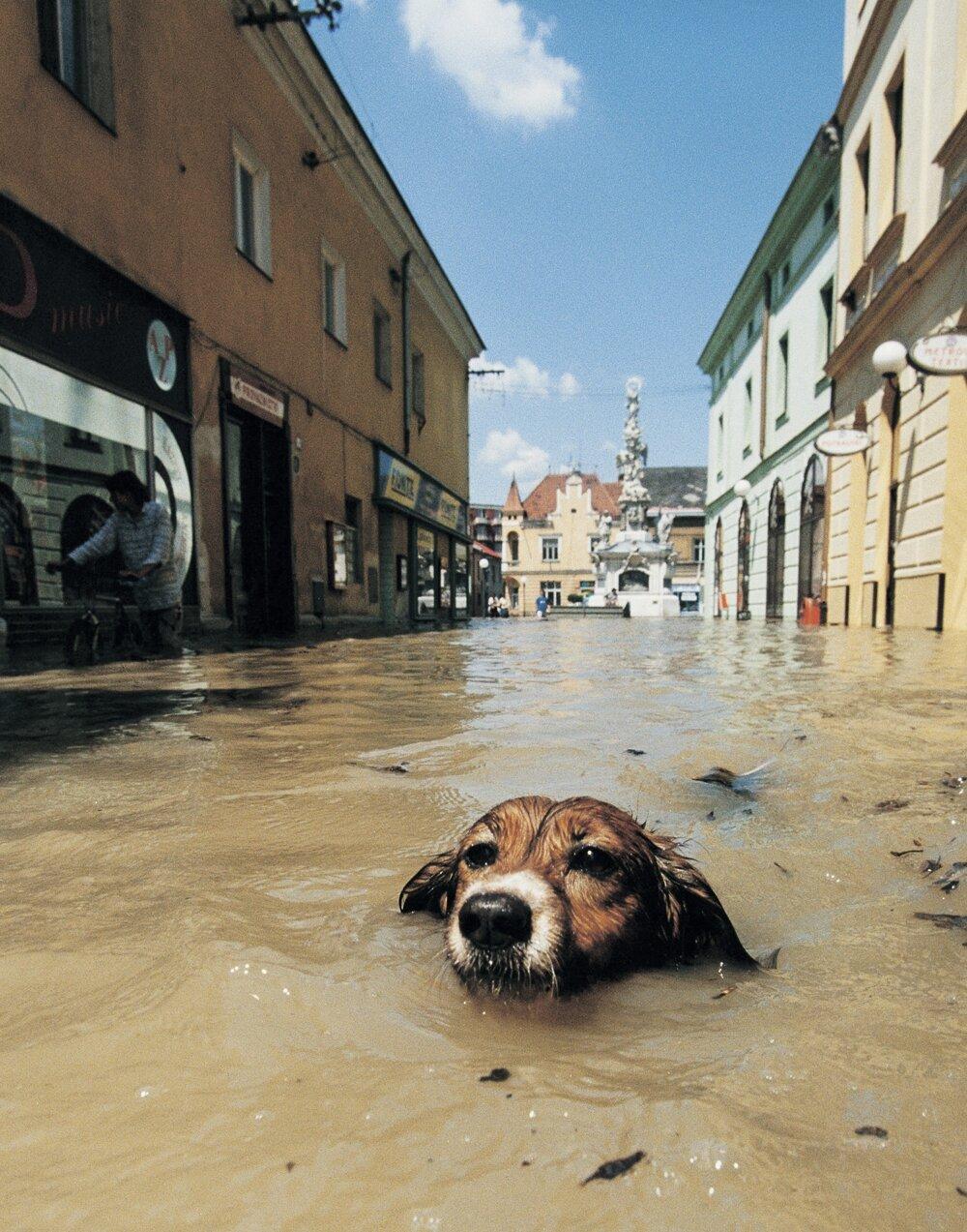 Pes pláva v zatopenej ulici Uherského Hradišťa počas povodňovej katastrofy na Morave 11. 7. 1997.