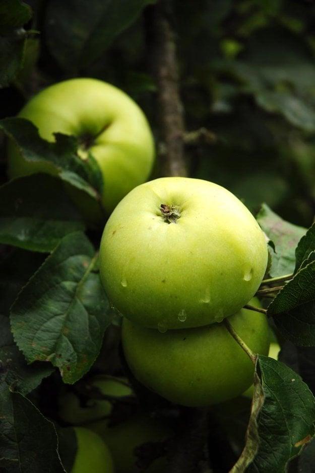 Jabloň Maršalka.