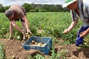 Zemiaky, ktoré začínajú poľnohospodári vyorávať, nebudú také chutné ako po iné roky.