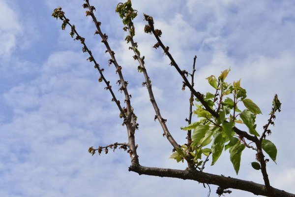 Na snímke mrazom poškodený konár marhule v Myslave. Na celom strome ostali dve až tri malé marhule.