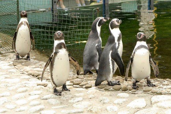 Lákadlom v zoo budú aj tučniaky.
