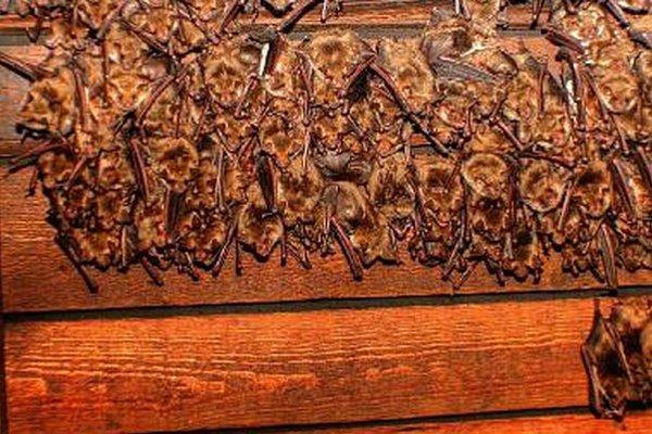 """Desiatky netopierov dokážu narobiť poriadny """"neporiadok""""."""