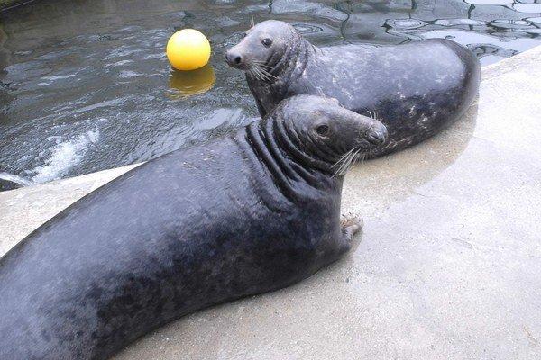 Odolné tulene. Tie môžu návštevníci obdivovať aj v zimnom období.