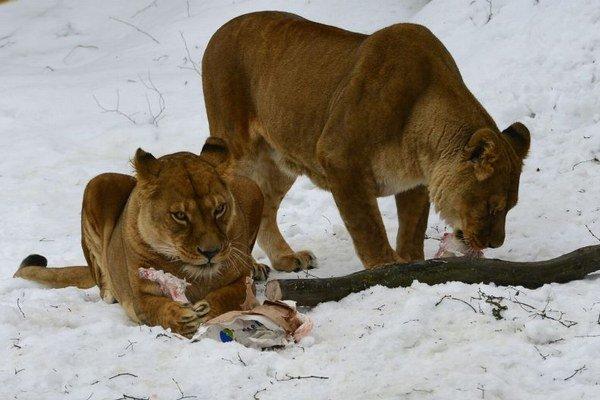 Levy v košickej zoo.