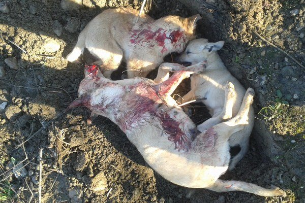Mŕtve psíky. Neznámy zurvalec ich doslova utĺkol na smrť.