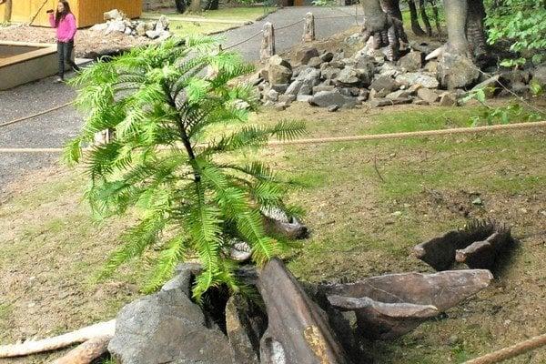 Wollemi nobilis. Druh borovice, ktorá rástla na Zemi už pred 175 miliónmi rokov.
