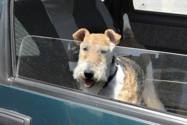 Psa určite nenechávajte v aute. Teplota v ňom sa môže vyšplhať až na 70 stupňov.