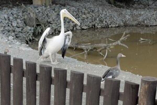 Aj pelikána môžete obdivovať v košickej zoo.