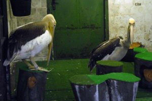Zimná zoo. Ozdobou zoologickej záhrady sú nepochybne pelikány ružové. V chladných dňoch im je v domčeku teplúčko.
