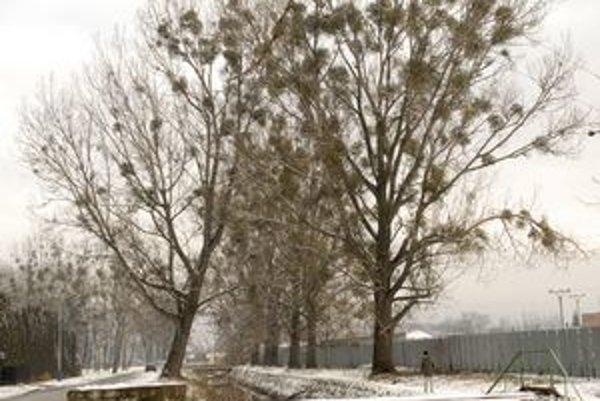 Napadnuté dreviny. Aleju stromov musí správca toku zlikvidovať. Sú hrozbou pre ľudí.