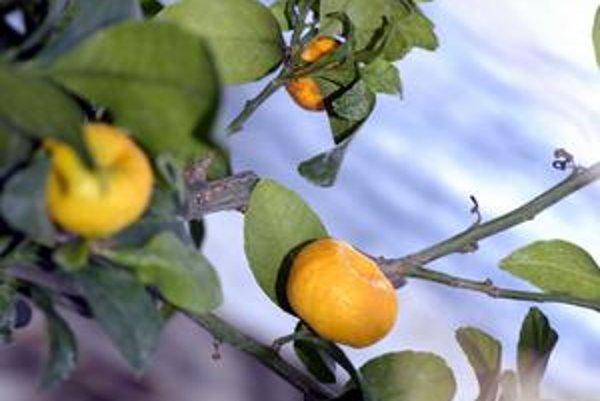 Výstava citrusov. V botanickej záhrade sprístupnili dnes zaujímavú výstavu.