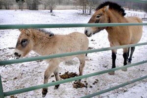 Prírastky. Mama žrebca koňa Przewalského nespustí syna ani na chvíľu z očí.