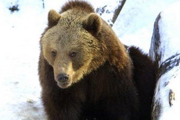 Problémom pre šíriacu sa populáciu medveďa u nás je stále menej prirodzenej potravy.