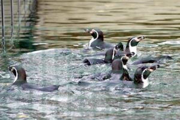 Kŕdeľ sa zmenšuje. Z dvanástich tučniakov Humboldtových zostali po tragickej udalosti už len traja. Samčeka utĺkli kameňmi.