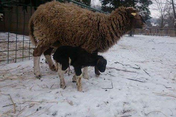 Tamara. Nový prírastok do ovčej rodiny.