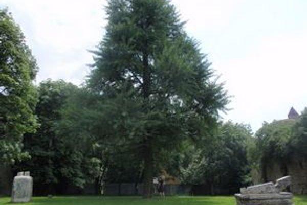 Prešovské ginko. Strom má liečivé účinky.